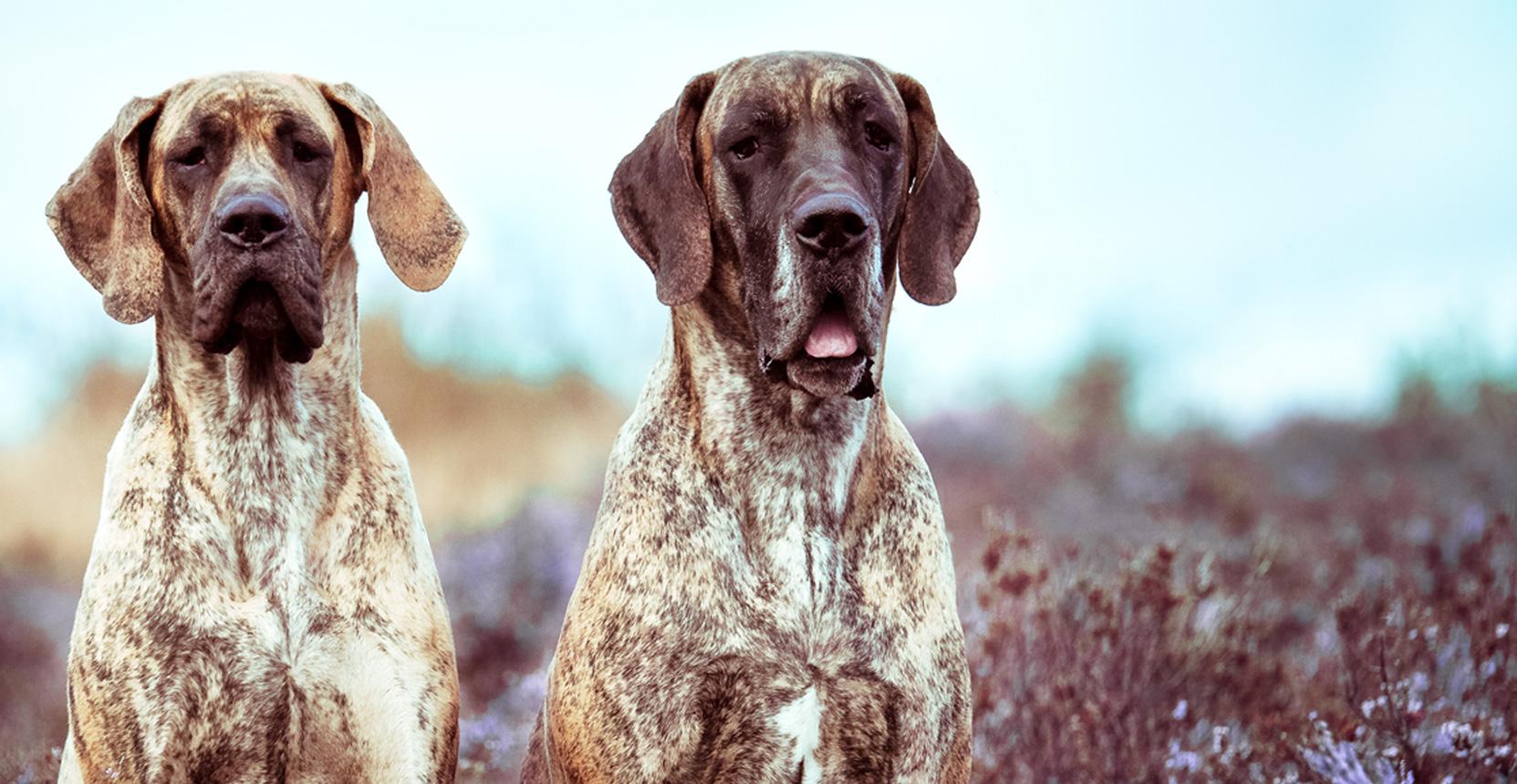 Doggen von Rake Mountain